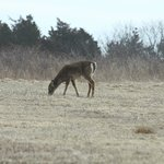 One of 3 deer right near the visitor center.