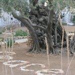 Peace amid the olive trees