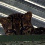 Rare Oncilla Cat