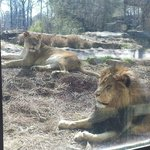 Up close look of the Lions