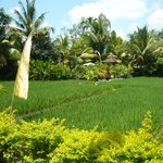 view from our garden across rice to pool