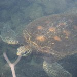 Clear water allows you to see sea turtle. At Los Tuneles when we were on Isabela Island.