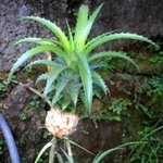 Mini pineapples growing in the garden