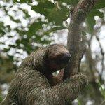 Hehehehehe! 3 Toed Sloth