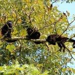 Howler Monkeys!!