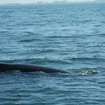 Baleine à bosses Baie de Bandéras
