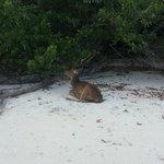 Rusa di pulau peucang