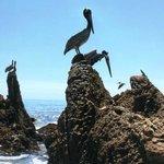 Pelicans !!!