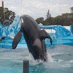 La orca en acción