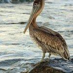 Pelican during my morning beach walk.
