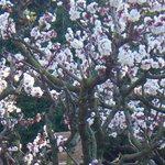 Baum in volle Blüte