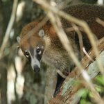 A coati family on the way to Calakmul