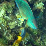 Parrotfish and Spanish Hogfish