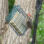 Male Ladderback Woodpecker oid: 93641712 n suet feeder