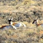 Three pronghorn antelope in a shot that Erik got for me using my iPhone and his telescope.