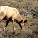 Bighorn sheep, another animal we hadn't seen anywhere in our trip!