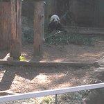 The panda eating bamboo