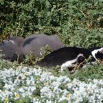 Female Magellanic penguin with her 2 chicks sunning by their burrow at Otway Sound Penguin Reser