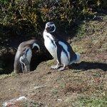 Mated pair of Magellanic penguins at their burrow at Otway Sound Reserve near Punta Arenas