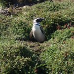 Magellanic penguin at his burrow entrance, Otway Sound Penguin Reserve, Chile