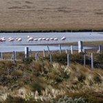 Flamingoes feeding at Otway Sound salt flats near Punta Arenas, Chile