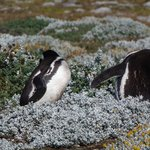 Magellanic penguins preening themselves at Otway Sound Penguin Reserve, Punta Arenas, Chile
