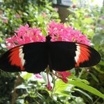 A hybrid of two longwing butterflies