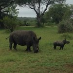 White Rhino mother and baby (+/- one month)