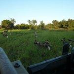 wild dogs sighting