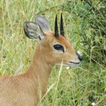 Steenbok on our drive
