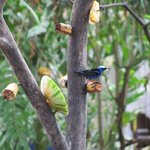 Red-legged Honeycreeper on the fruit 'tree' outside reception