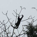 Howler Monkey in tree outside hotel room