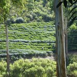 Another view from the verandah. You can see the tea pickers at work.