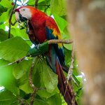 Scarlet Macaw from the dining room