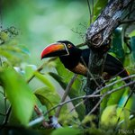 Feiry-billed Aracari from the dining room