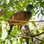 Great Curassow from La Vainilla deck