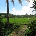 Looking towards rice fields