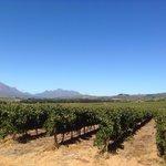 Vine yards at Simonsig