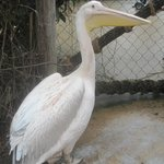 You were able to walk in the Pelican enclosure