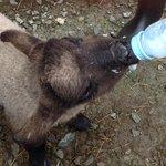 Feeding the baby lambs