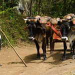 Oxen pulling a traditional ox cart.