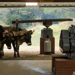Oxen working the machine that squeezes the juice out of the sugar cane.