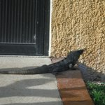 lots of fun critters for kids - Iguanas everywhere!