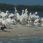 Rare White pelicans from Michigan