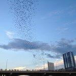 Летучие мыши. Мост Конгресс Авеню