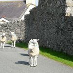 Friendly Welsh Sheep on the Great Orme