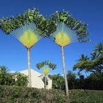 Fan palms on the property