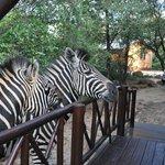 Tierbesuch Zebra