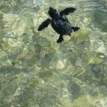 Маленькая черепашка Карета-карета впервые с пляжа в море