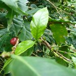 Coffee bush